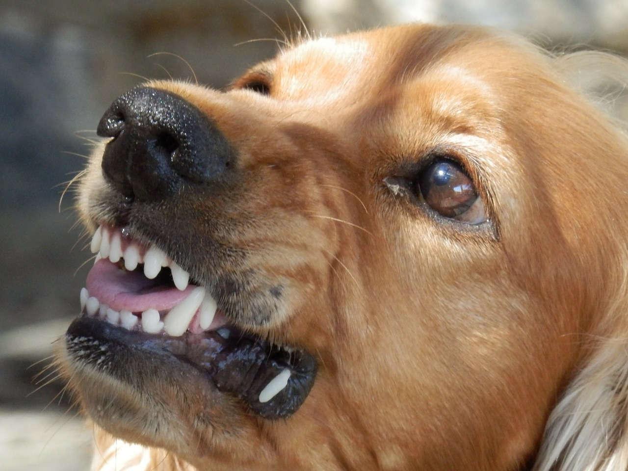 Körpersprache Hund drohen, Knurren